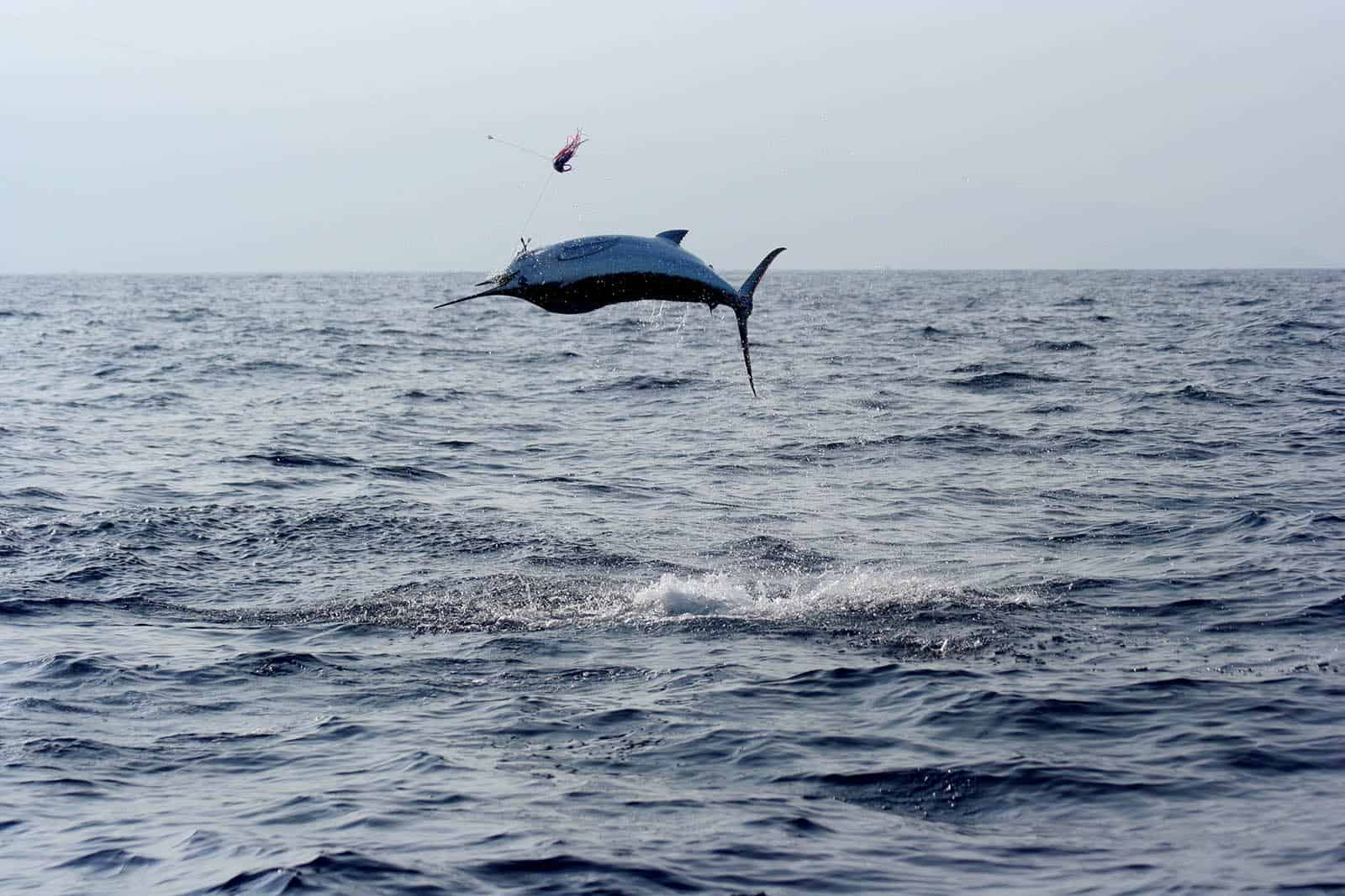 Blue Marlin Deep Sea Fishing in Aruba