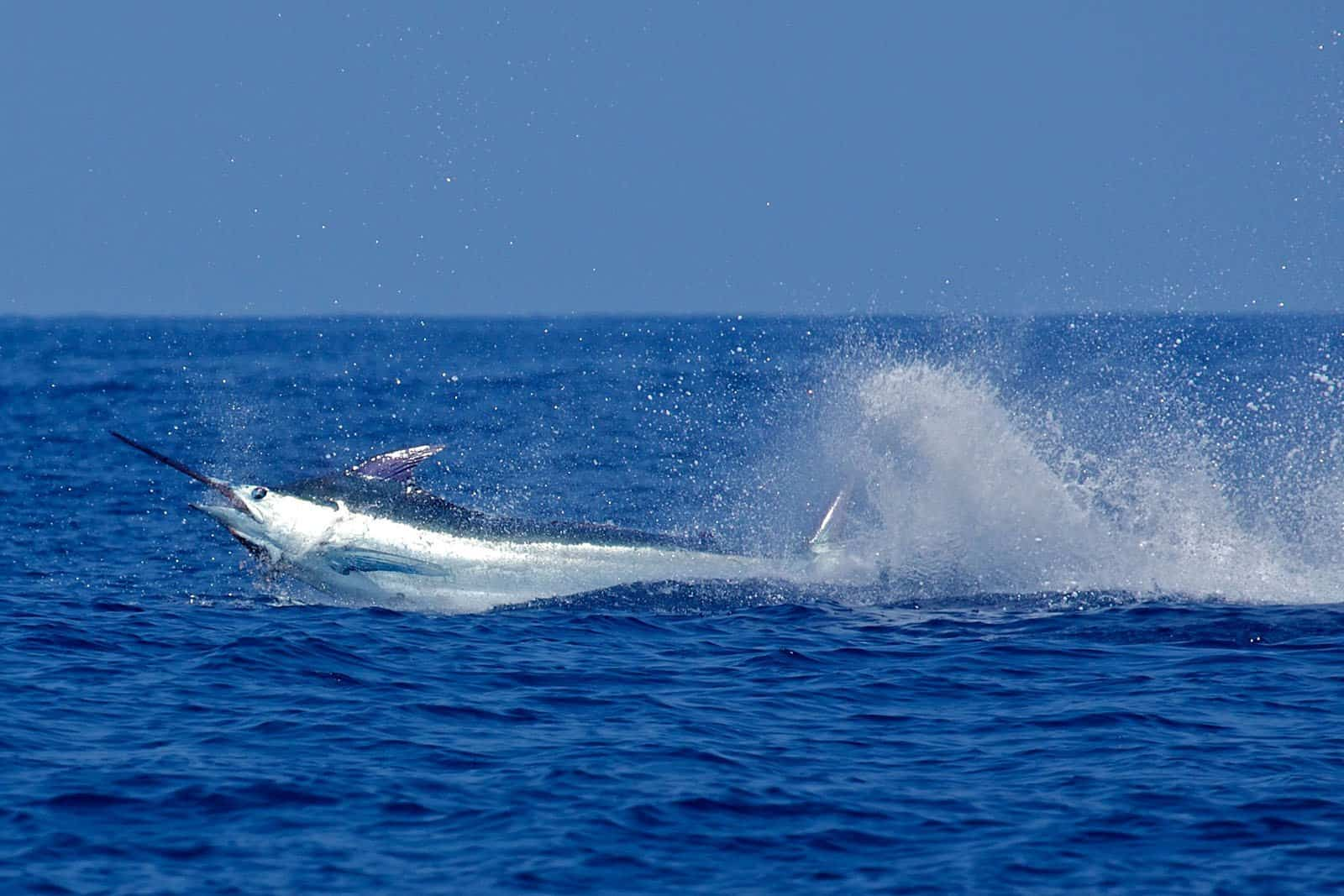 Blue Marlin in Aruba